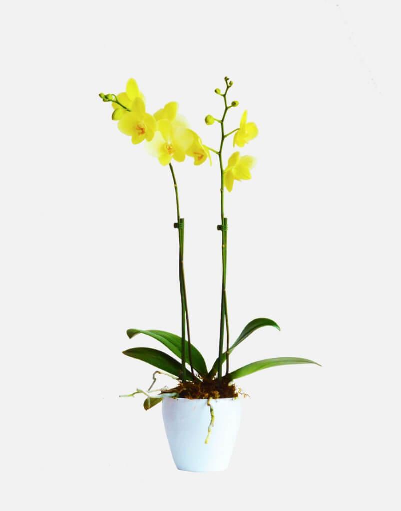 Planta de orquídea phalaenopsis con base